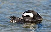 African penguin preening in shallow water