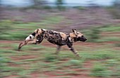 Adult African hunting dog running