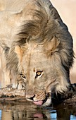 Male African lion drinking