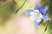 Columbine (Aquilegia sp.) in flower