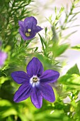 Bush violet (Browallia speciosa) in flower
