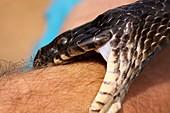 Large Whipsnake (Coluber jugularis)