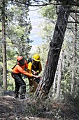 Foresters cutting down pine trees