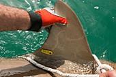 Tagging a sandbar shar