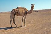 Camel in Wahiba desert, Oman
