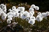 Arctic Cotton Grass (Eriophorum scheuchzeri)