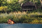 Flusspferde vor dem Kings Pool Camp im Okavango-Delta, Botswana, Afrika