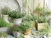 Different varieties of thyme in flower pots