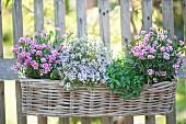 Korbkasten mit Dianthus 'Pink Kisses' (Nelken), Thymus vulgaris (Thymian) und Satureja (Bohnenkraut) an Zaun gehängt