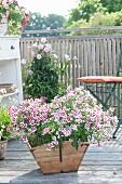 Holzkorb mit Dianthus 'Pink Kisses' (Nelken), hinten Pandorea (Laubenwein) und Stuhl