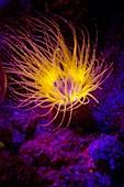 Cerianthus anemone fluorescing at night