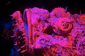 Scorpionfish fluorescing at night