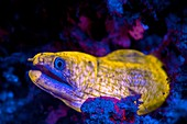 Moray eel fluorescing at night
