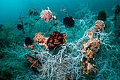 Black coral, Indonesia