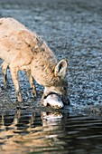 Coyote scavenging a dead fish