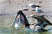 Brown pelican eating a fish