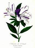 Satsuki azalea (Azalea indica), 19th C illustration