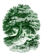 Baobab (Adansonia sp.) tree, 19th C illustration