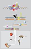 CRISPR-Cas9 gene editing, diagram