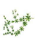 Heath bedstraw (Galium saxatile) in flower, illustration