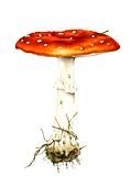 Fly agaric (Amanita muscaria) mushroom, illustration