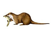 Otter eating brown trout, illustration