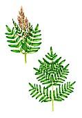 Royal fern (Osmunda regalis), illustration
