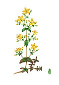 Slender St. John's-wort (Hypericum pulchrum), illustration