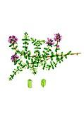 Wild thyme (Thymus polytrichus) in flower, illustration