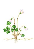 Wood sorrel (Oxalis acetosella) in flower, illustration
