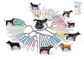 Evolution of dog breeds, illustration