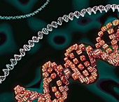 Genes and chance, conceptual illustration