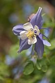 Columbine (Aquilegia x hybrida 'Swan Blue and White')