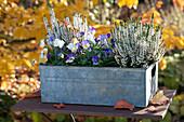 Calluna vulgaris Garden Girls 'Alicia' ( Knospenheide, Besenheide )