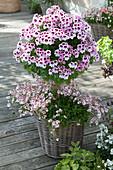 Pelargonium grandiflorum Aristo 'Petticoat' ( Edelgeranie ) Staemmchen