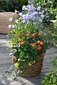 Rosa ( Zwergrose ), Campanula persicifolia ( Pfirsichblaettrige Glockenblume