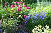 Bluehendes Fruehsommerbeet mit Paeonia lactiflora ( Pfingstrosen )