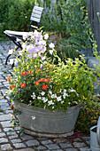 Zinkwanne mit Campanula persicifolia ( Pfirsichblaettriger Glockenblume )