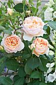 Rosa 'Lady of Shalott' ( Englische Rose ) von David Austin, oefterbluehend