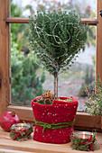Staemmchen von Thymus vulgaris ( Thymian ) weihnachtlich