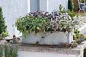 Zinkkasten mit verschiedenen Salbei-Sorten bepflanzt :