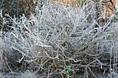 Euonymus alatus ( Korkleisten - Spindelstrauch ) mit Rauhreif