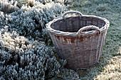 Weidenkorb am gefrorenen Kraeuterbeet, Thymus ( Thymian ),