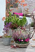 Herbstliches Arrangement mit Cyclamen persicum ( Alpenveilchen )