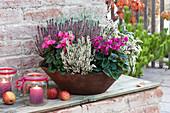 Cyclamen persicum 'Fleur en Vogue' ( Windradcyclamen, Alpenveilchen )