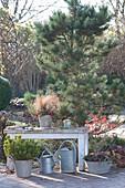 Carex albula 'Frosted Curls' ( Segge ) und Gaultheria procumbens