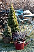 Koerbe mit Picea glauca 'Conica' ( Zuckerhutfichten ) und Calluna