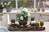 Helleborus niger ( Christrose ) im Rosttopf, Kerzen und Christbaumkugeln