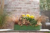 Herbstlich bepflanzter gruener Holzkasten : Carex comans 'Bronze'