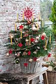 Kleine Abies nordmanniana ( Nordmanntanne ) als Weihnachtsbaum